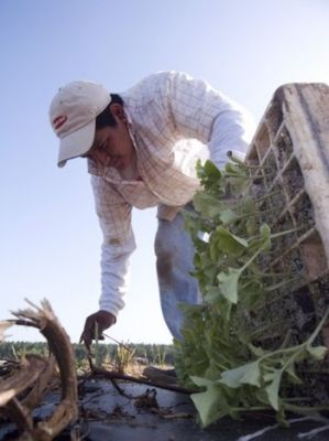 Victor plants watermelons in The Harvest/La Cosecha. Child farmworkers are especially vulnerable to repetitive-motion injuries. (Courtesy of Cinema Libre)