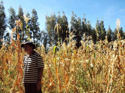 DRIED HOPE: Don Cristobal, Bolivian farmer, stands in his dying corn crop. PHOTO: REUBEN MCCREANOR