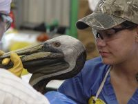 An oiled brown pelican receives treatment at Fort Jackson Bird Rehabilitation Center in Buras, La. PHOTO: International Bird Rescue Research Center (IBRRC)