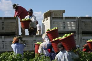 A far-reaching agreement with the industry group most responsible for blocking progress in Florida's tomato fields will bring improved pay and conditions to 90 percent of tomato pickers. Photo: Scott Robertson.