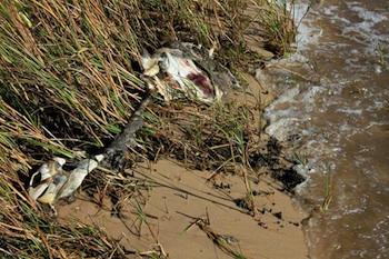 Dead sea turtle, Blood Beach, Ocean Springs, Mississippi. PHOTO: Erika Blumenfeld