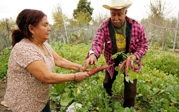 Elia Ortiz and wife Magalena harvest radishes at their garden plot at the South Central Community Farm. PHOTO: Getty Images/David McNew