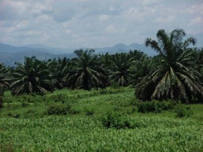 UNREST IN THE FOREST: In Honduras, many small farmers have lost their land or been killed resisting the spread of African palm plantations owned by powerful forces allied with  a repressive state. (Credit: Lon&Queta/Flickr)