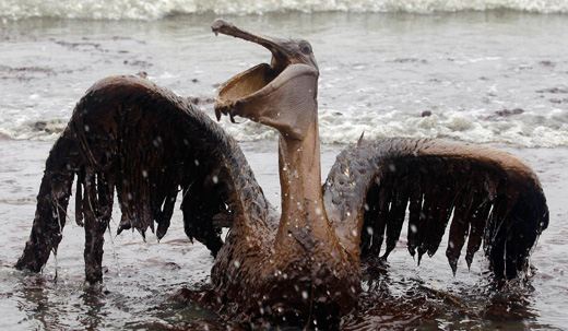 pelican520x303.jpg
